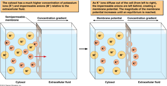 membrane potential ion movement