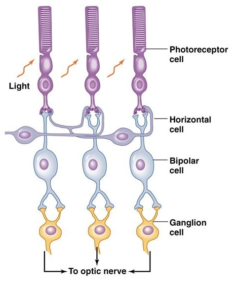 retina lateral inhibition visual system