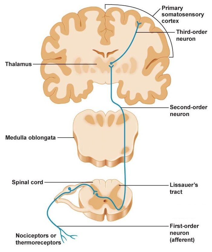 spinothalamic tract pathway