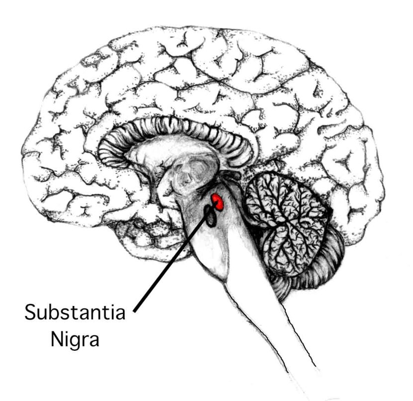 substantia nigra structure and function