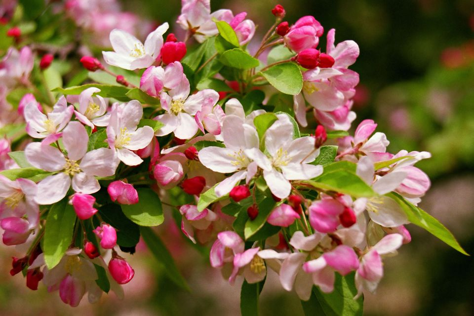 apple-blosson-h-56a237595f9b58b7d0c7fbe2.jpg