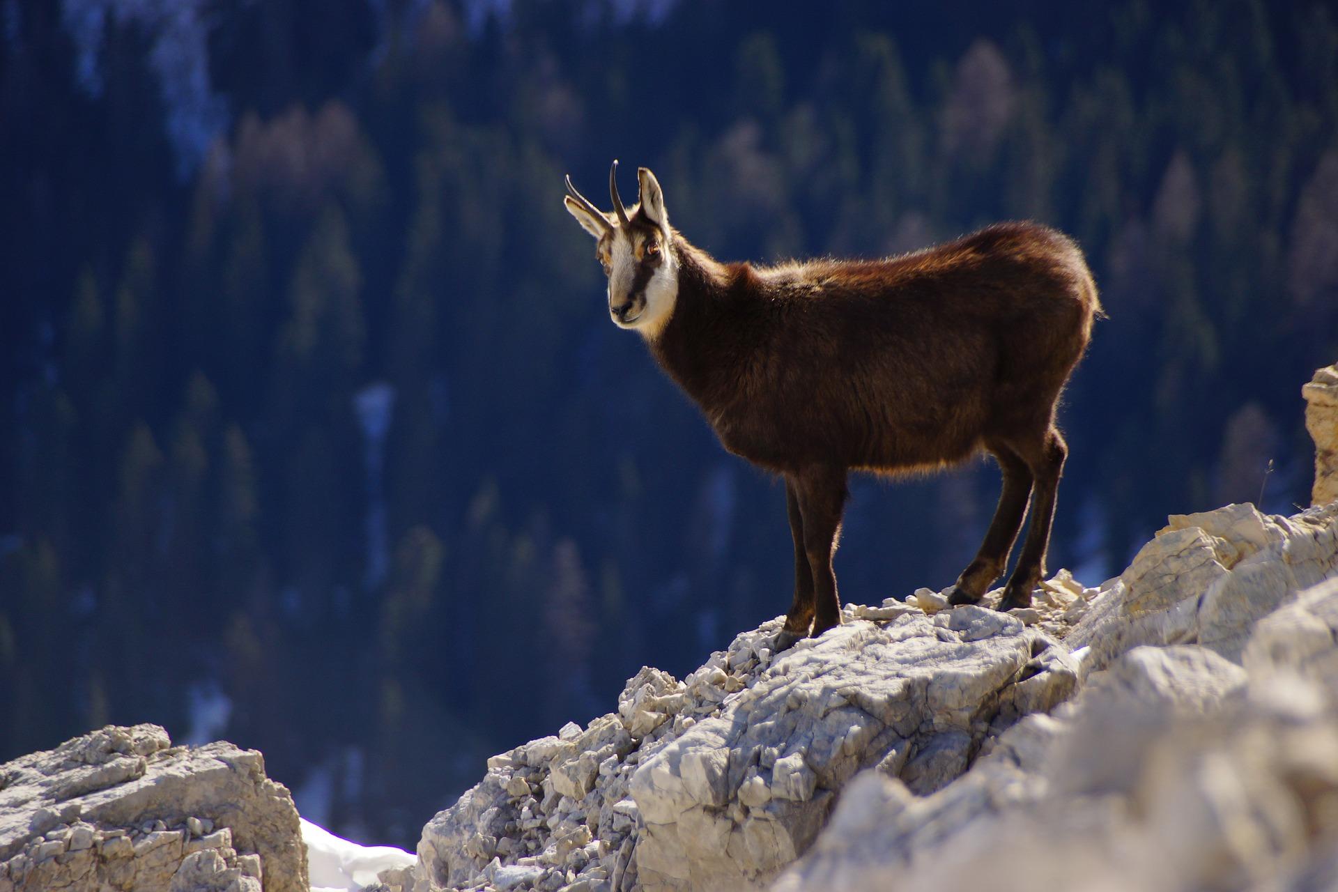 Alpine Chamois.jpg