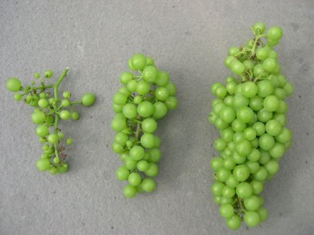Left: Small scrawny clusters caused by unsuccessful pollination. Middle:  Slightly reduced fruit set. Right: Overly set cluster. Rot can spread from berry to berry.  Photography by Jim Law