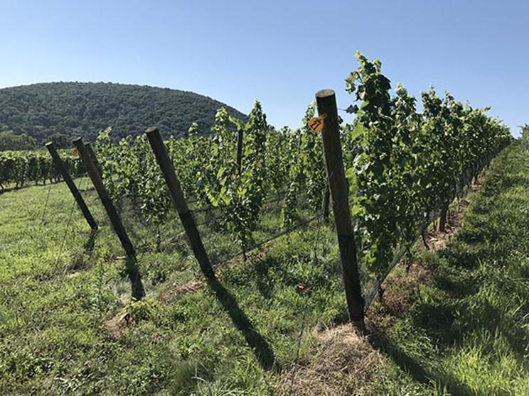 Linden Hardscrabble Chardonnay Vineyard