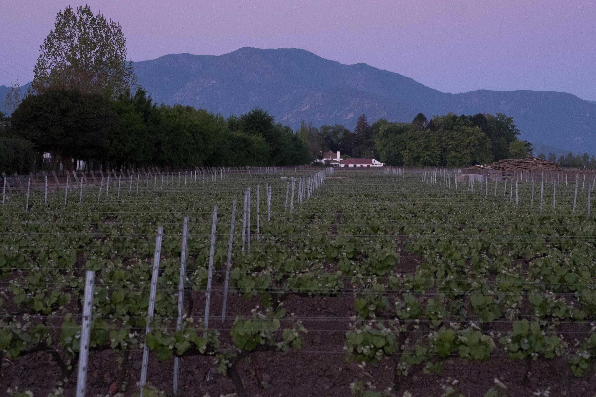 Vineyard at Dusk.jpg