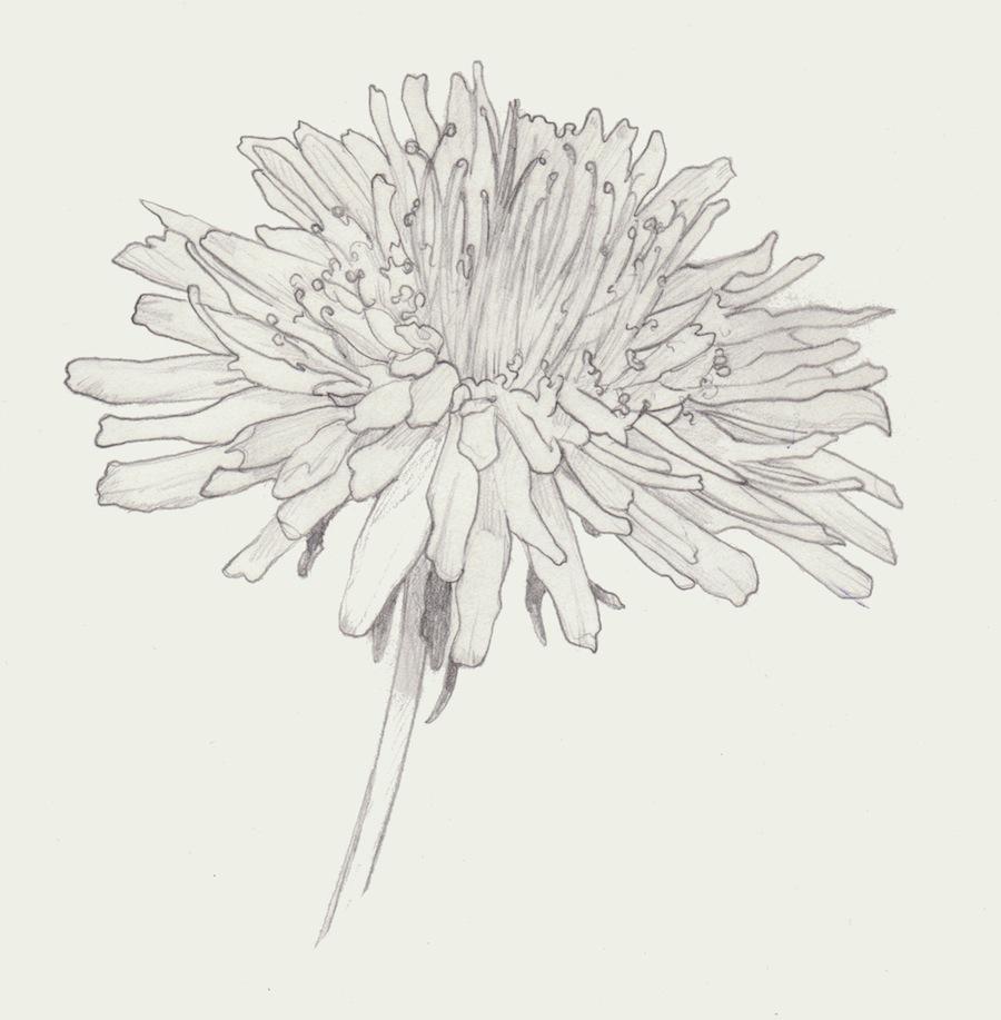 dandylionhead sketchweb.jpg