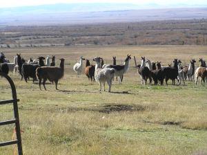 Llama Roundup