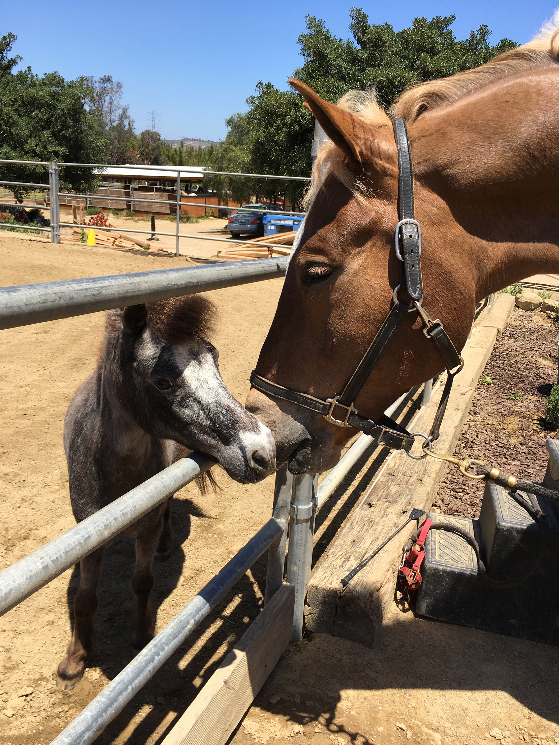 Rootbeer with BIG friend, draft horse Bon Bon, catching up on the ranch news