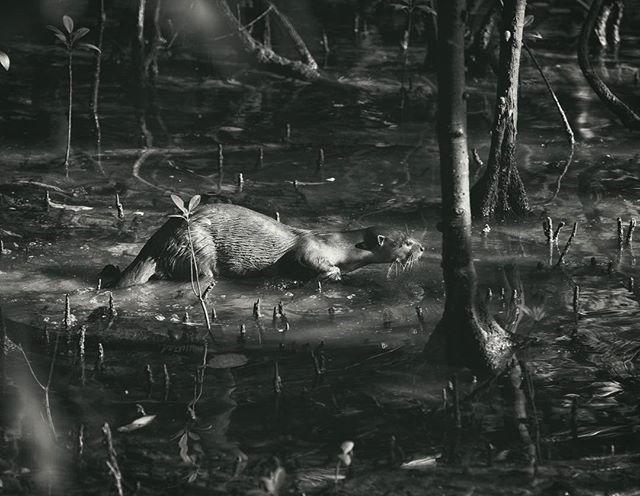 Deep in the mangroves.  #nparksbuzz  #otters #exploresingapore