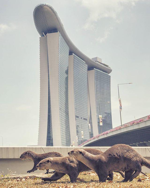 Uniquely Singapore 🇸🇬. #marinabaysands #visitsingapore  #nparksbuzz  #otters  @marinabaysands  @visit_singapore