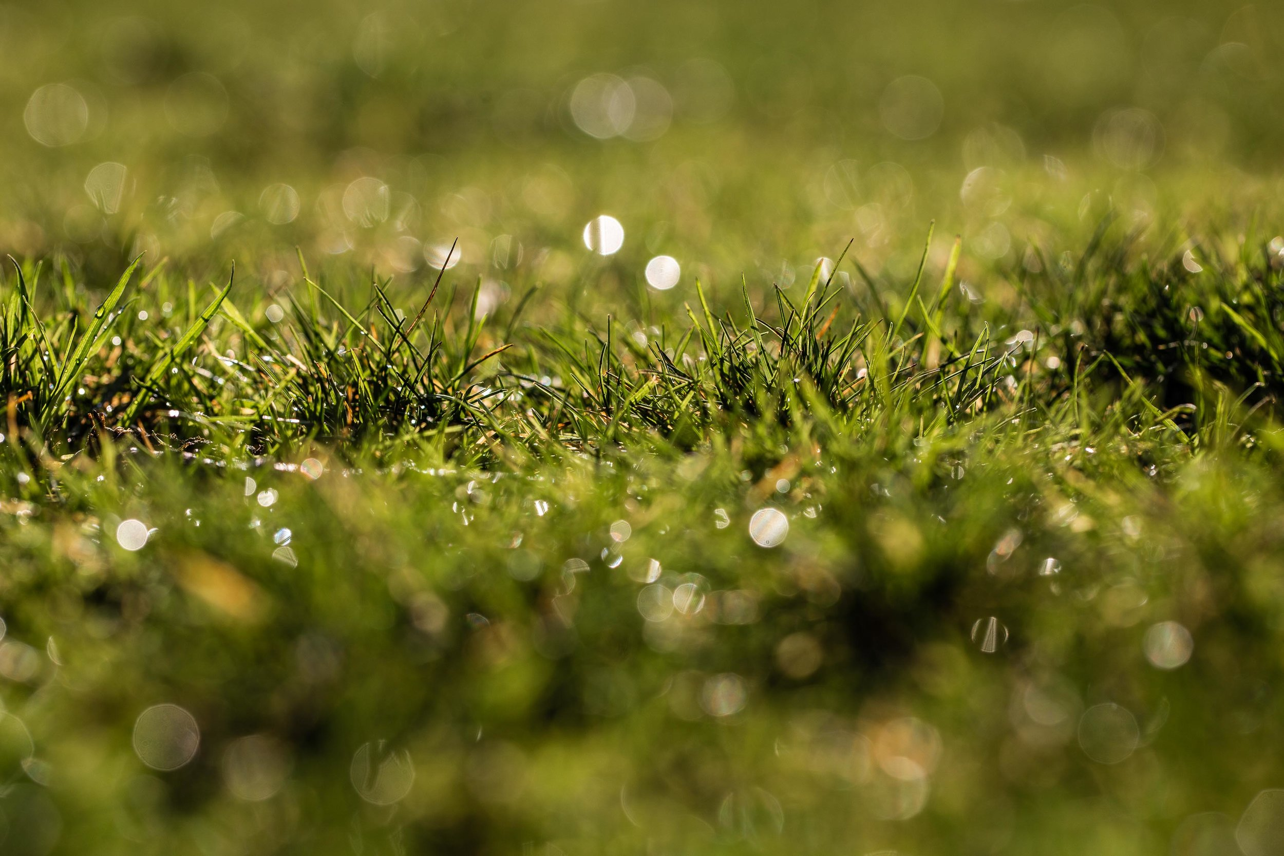 drops of dew on a green grass bokeh background