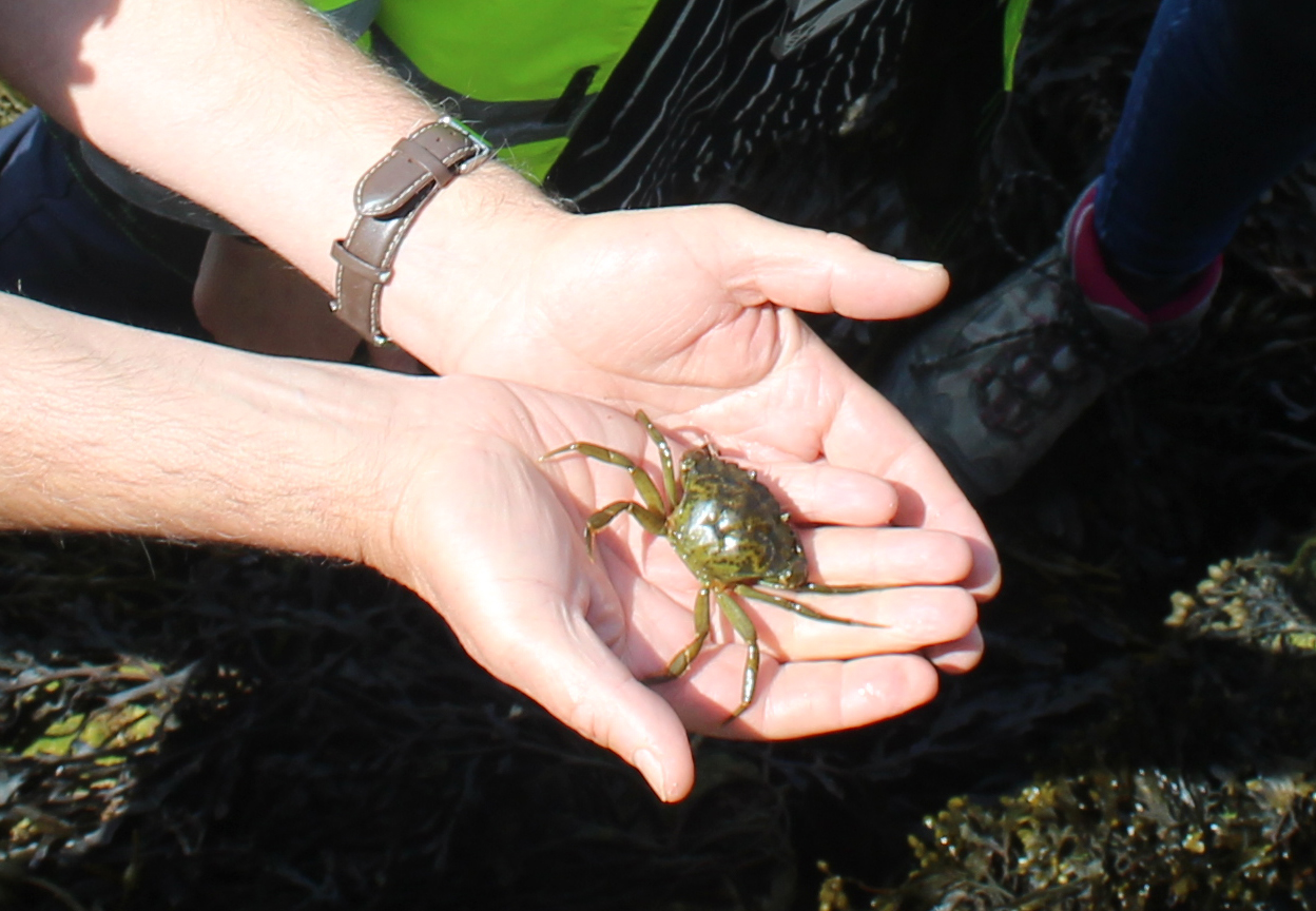 Dr Roger Herbert holds a green shore crab, found in a Vertipool at Bouldnor