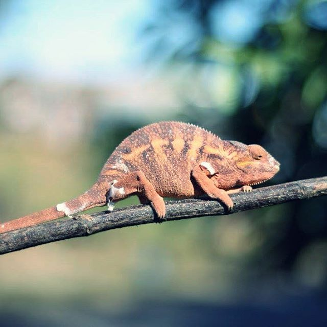 I think any animal that can change colours and look in two different directions at once is worth paying attention to!  Half of the worlds chameleon species live in Madagascar which is where I captured this little fella just chilling by the roadside.