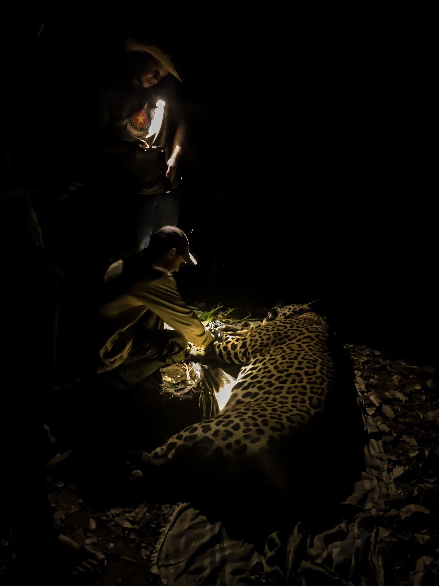 Collared Jaguar