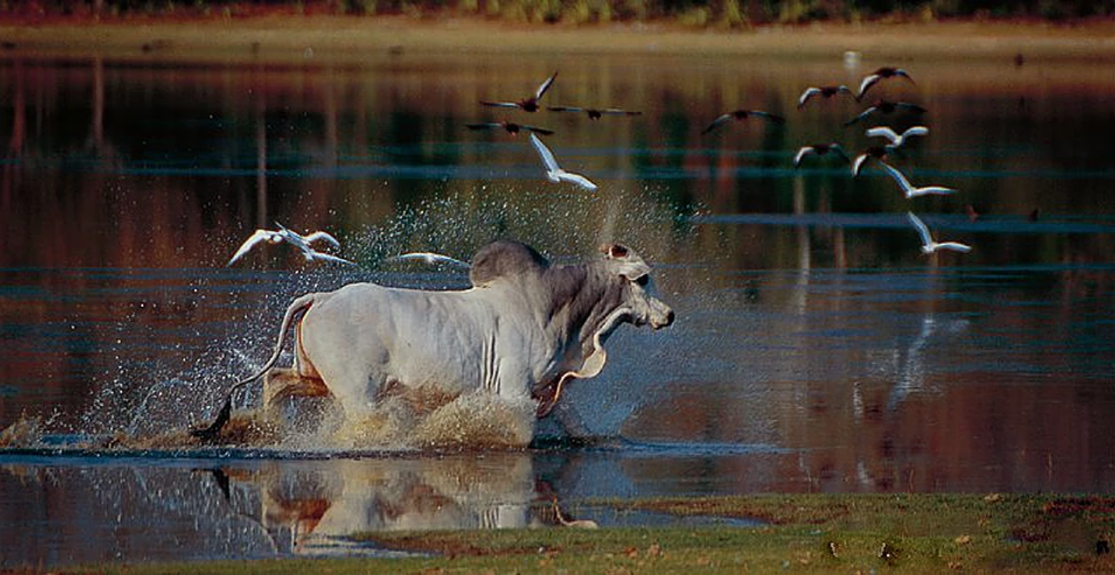 Pantanal Cattle