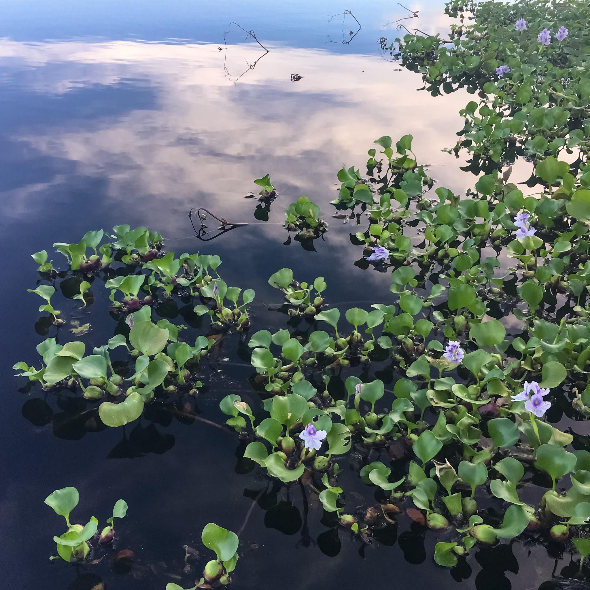 Rio Negro Flowers