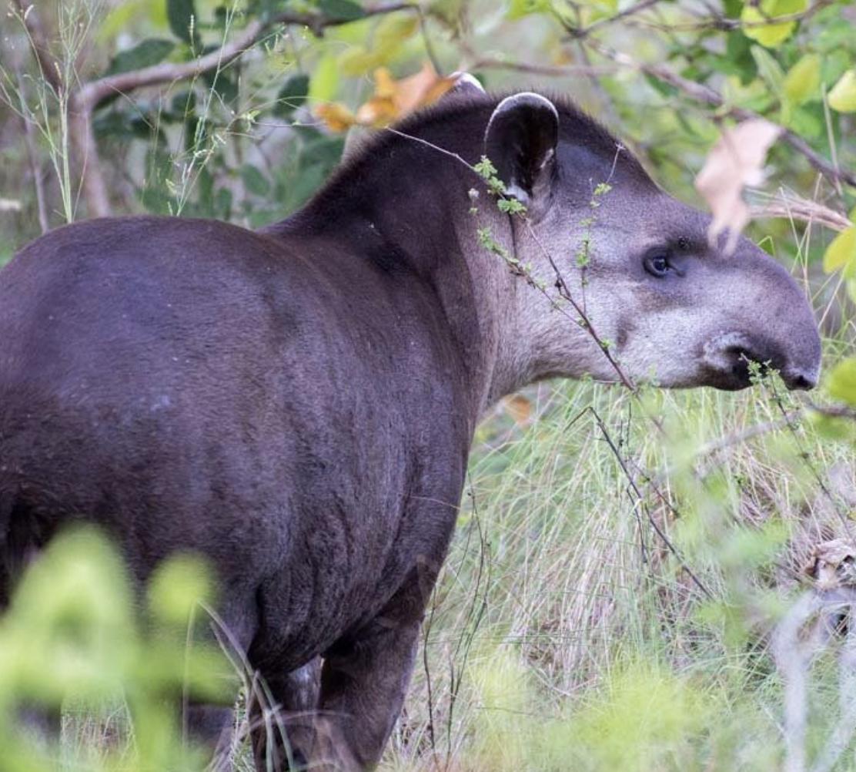 Pantanal Tapir