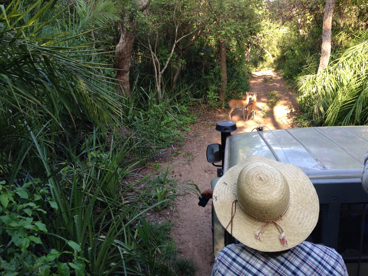 Pantanal Deer (Pampas)