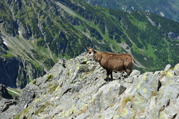 Chamois goat in the High Tatras, Slovakia