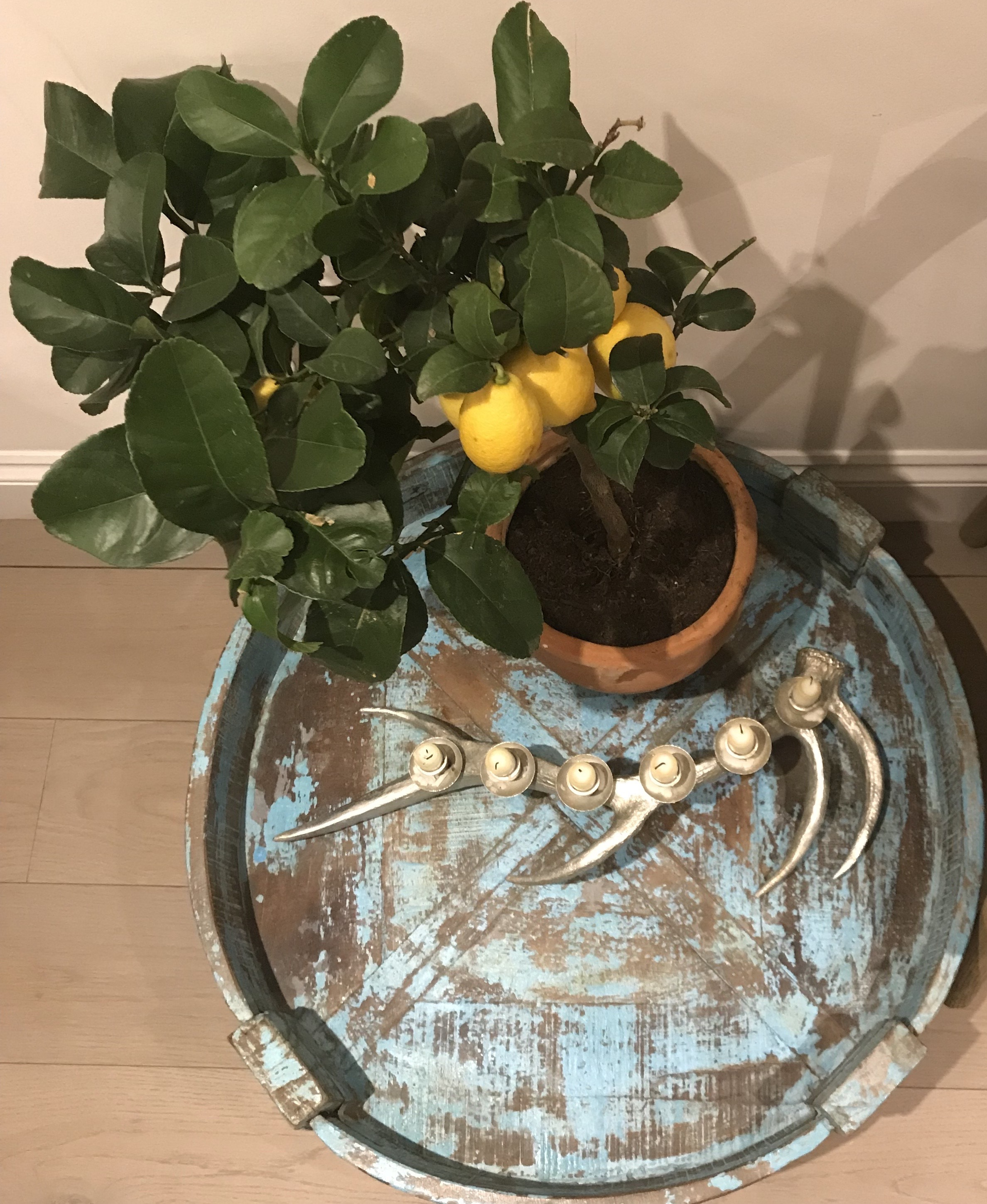 If you feel like a touch of sunshine yellow you could also try a lemon tree like this one.