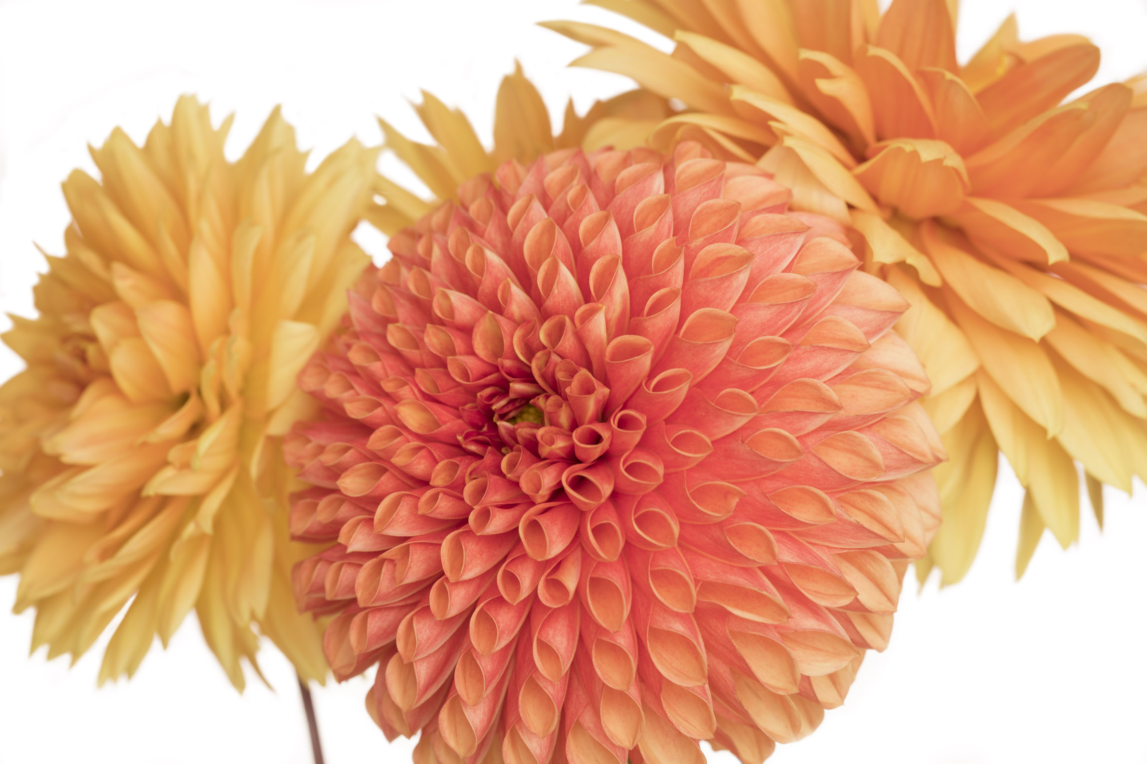 Red and Two Yellow Dahlias