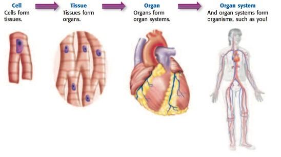 cell organ system.jpg