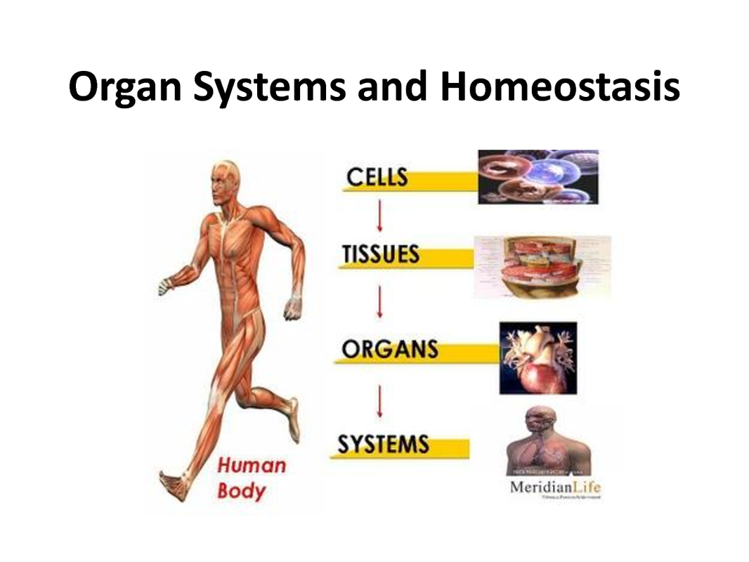organ-system-organ-tissue-cell-blog-archives-ms-a-science-online.png.jpg