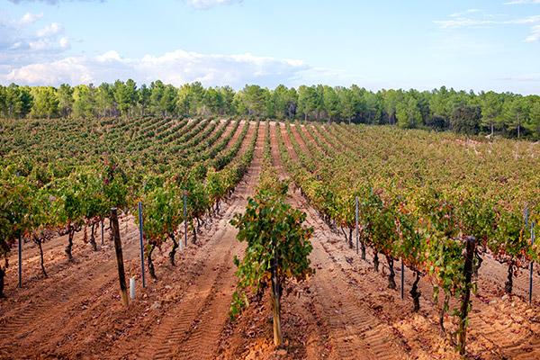 Utiel-Requena, Spain vineyard