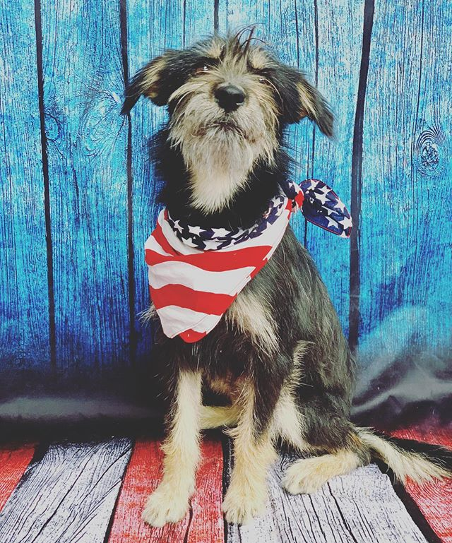 Happy 4th from Whiskey! 🇺🇸 • • • #petsforpatients #mydogismytherapy #companionanimals #adoptdontshop #rescuedismyfavoritebreed #fosterdog #4thofjuly