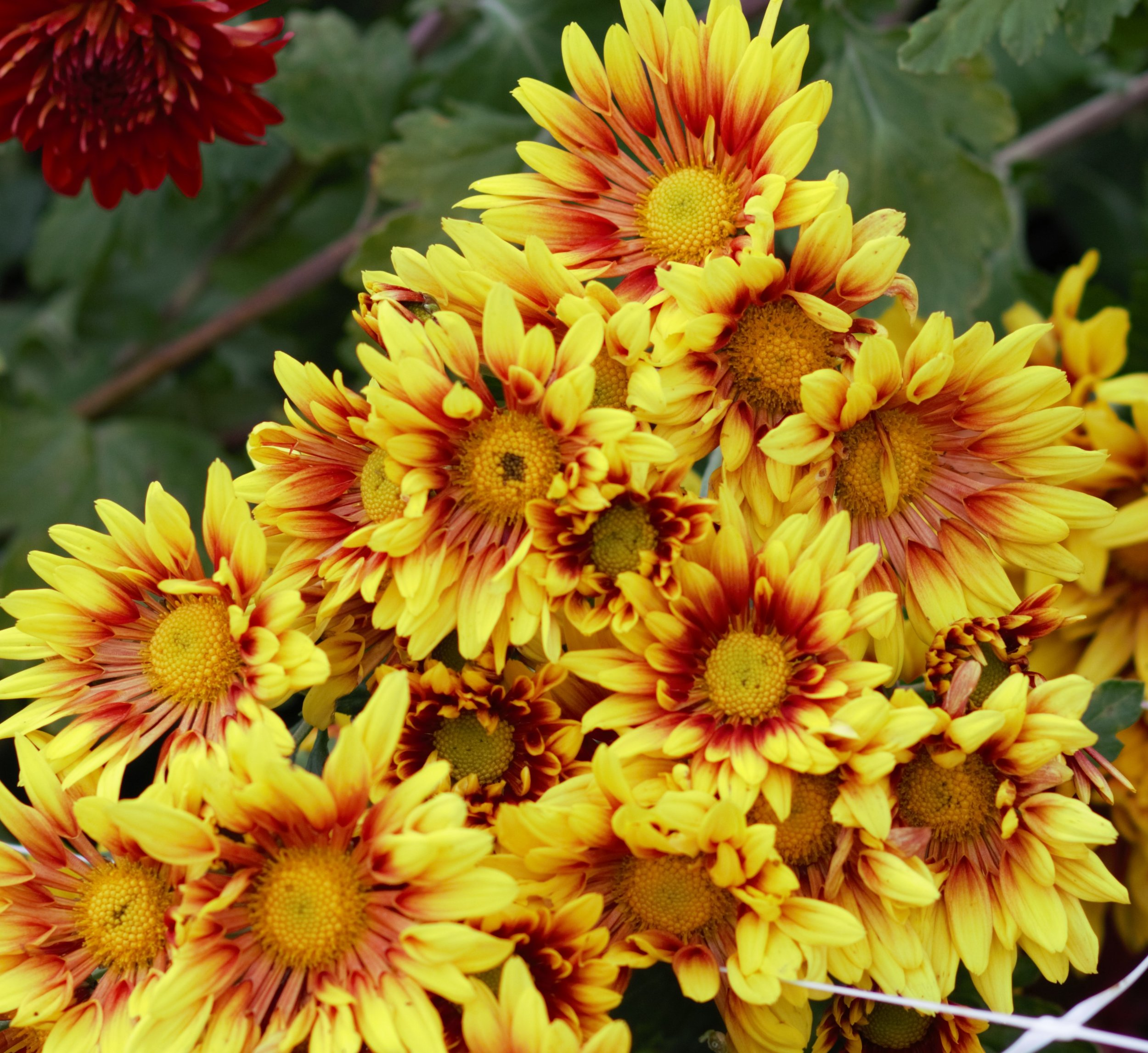 Mums - Bicolor Yellow and Red.jpg