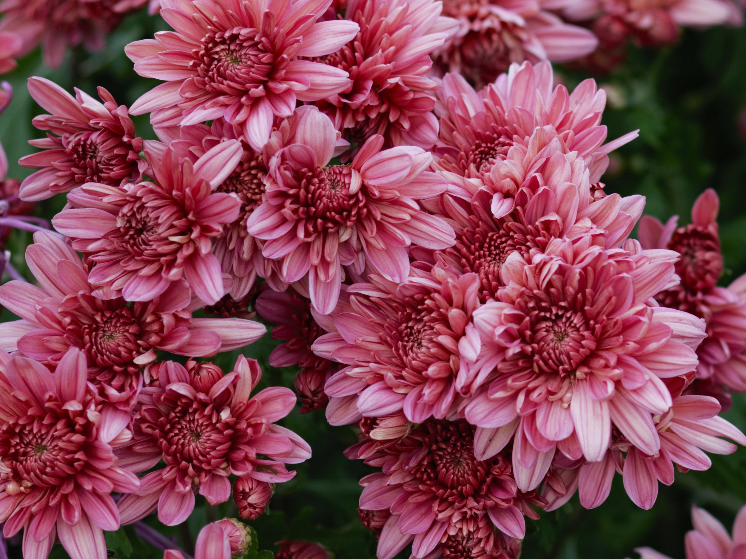Heirloom mums