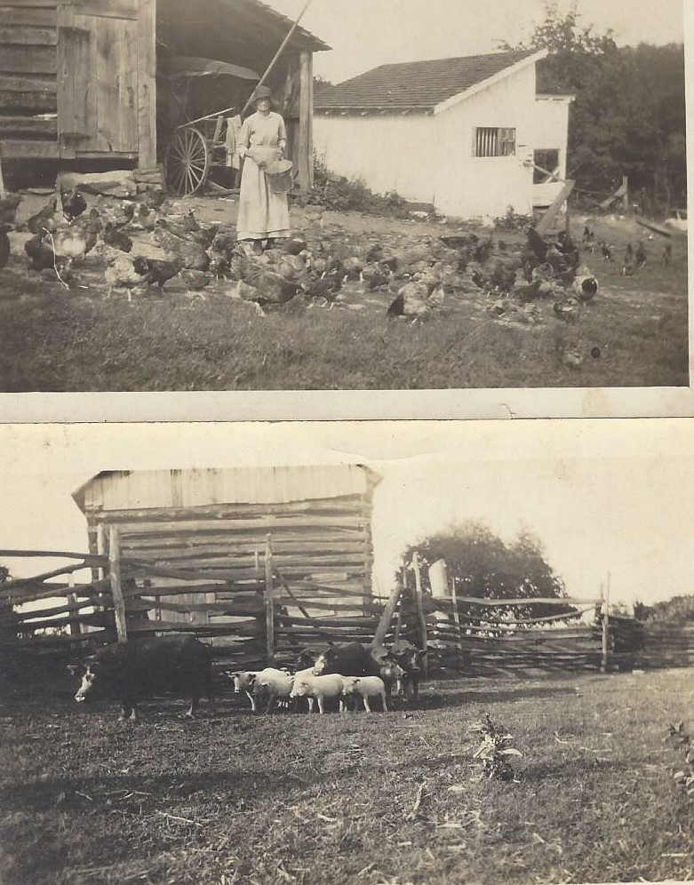 old farm lucywchickens and hogs in lot.jpg