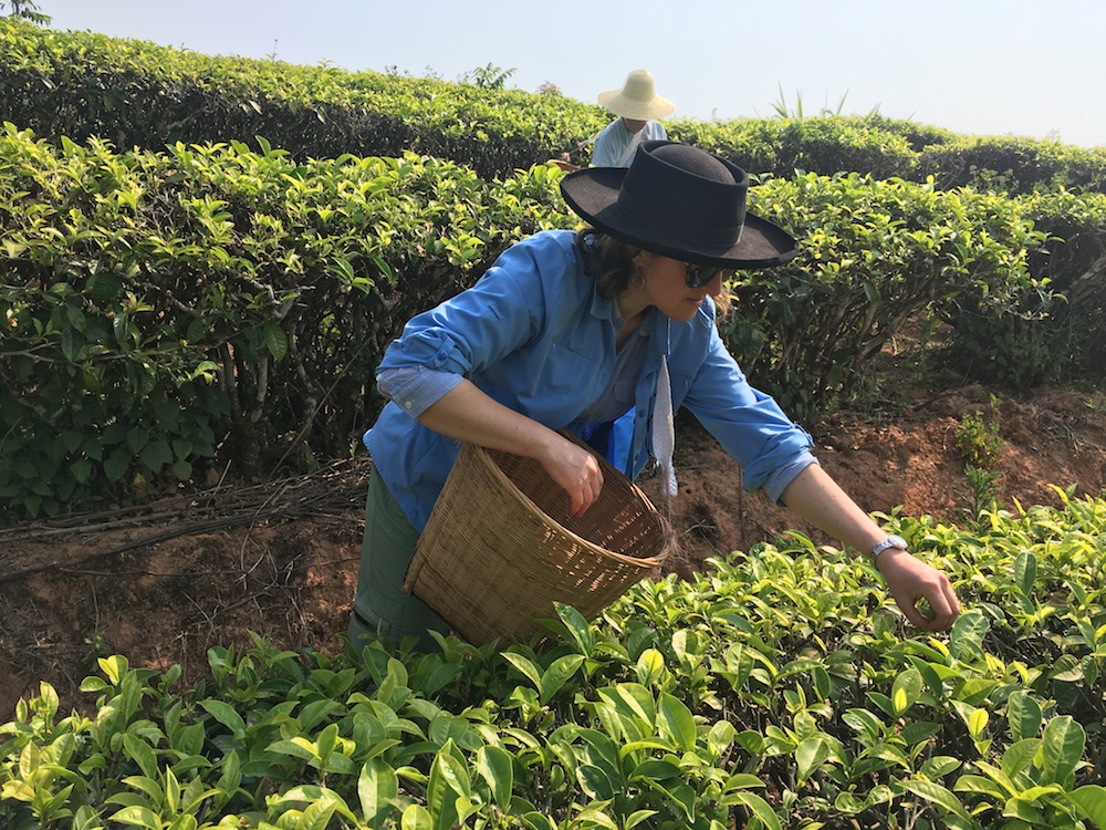 Picking Tea in Simao - Yin Sheng Tea Inn