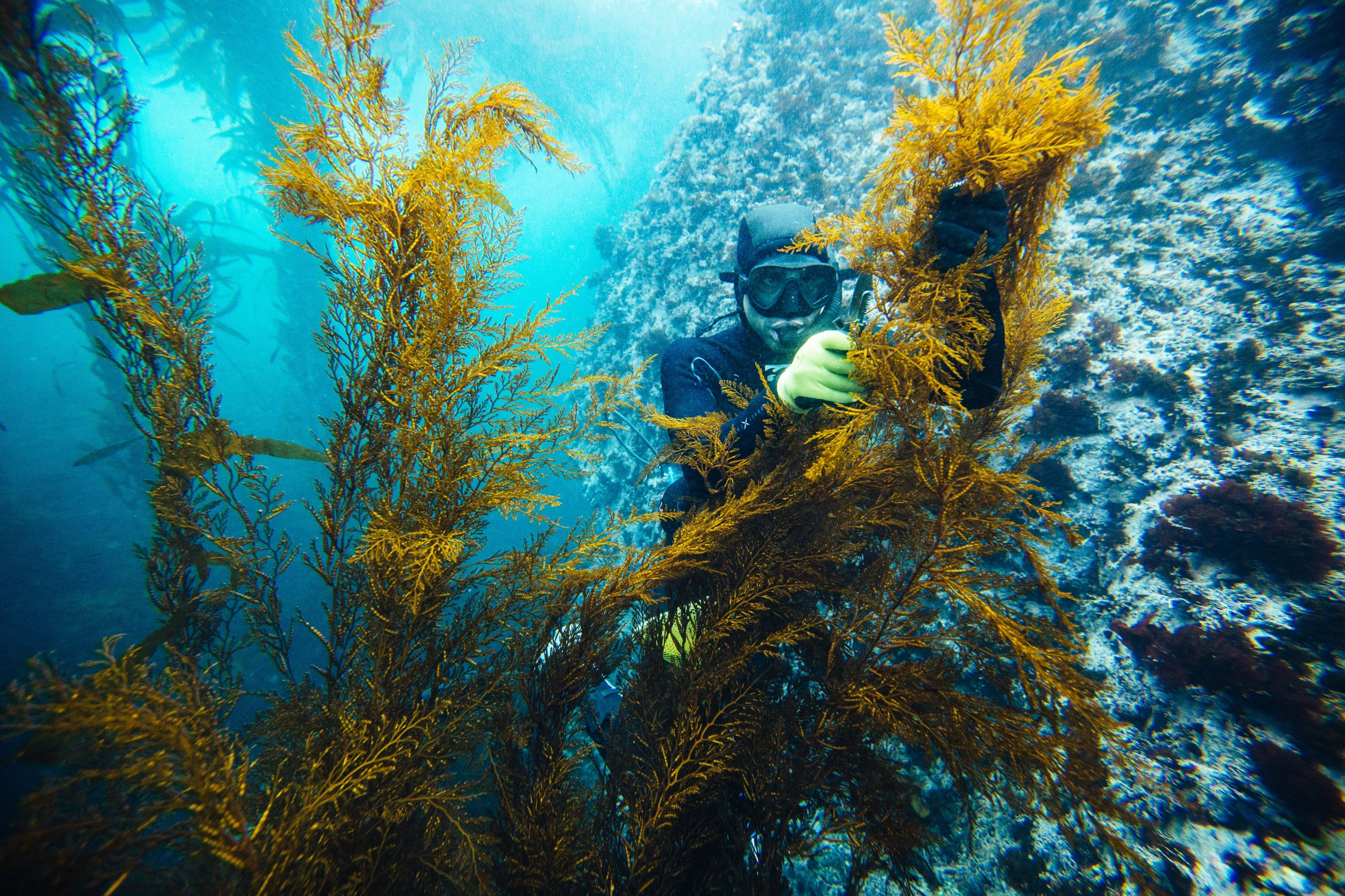 SeaquOia wild seaweeDs - Hand harvested kelp - Santa Cruz, ca