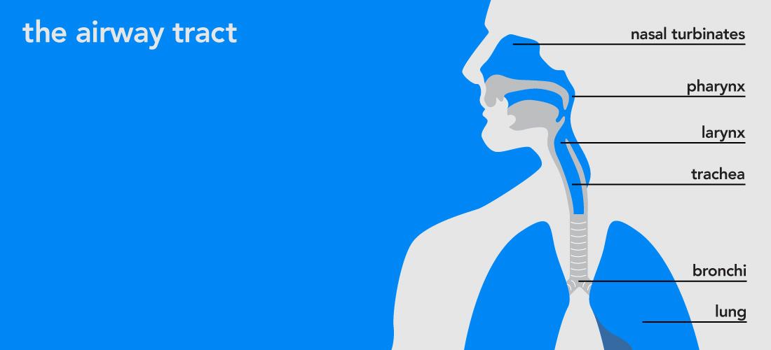 respiratory-tract_02.jpg