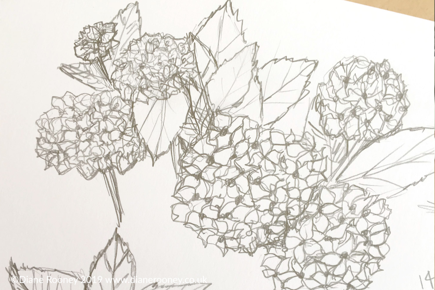 Diane Rooney Hydrangea Sketch August 2019