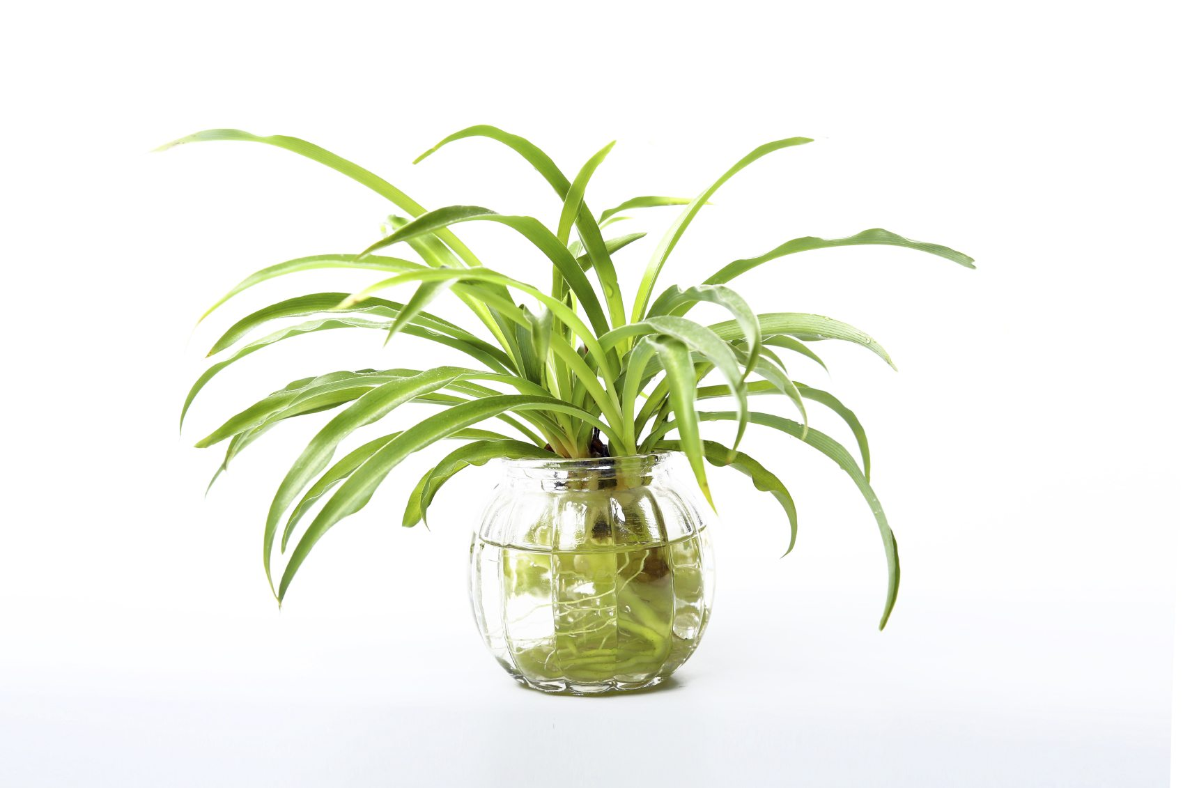 spider-plant-in-water.jpg