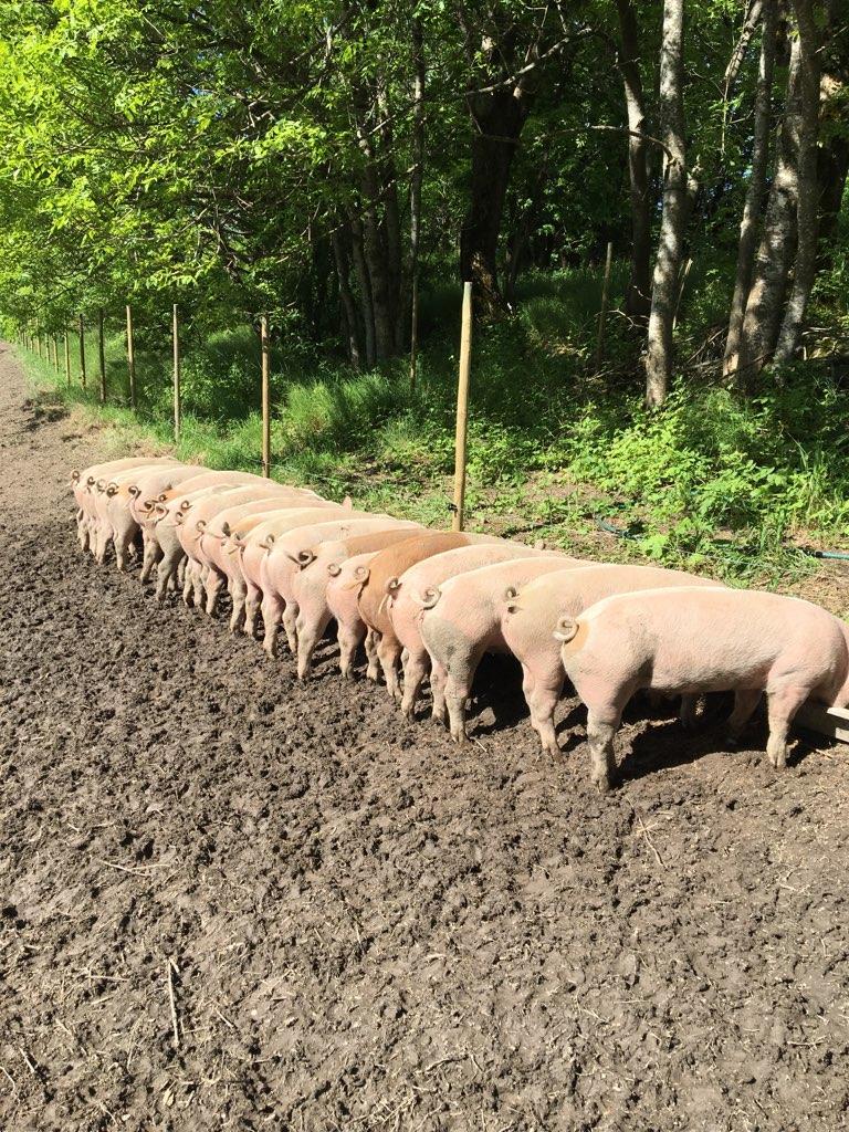 Frilandsgris - Vi sender fire griser på slakt i uke 14 og du kan nå sikre deg skikkelig svinekjøtt fra griser som har levd et godt liv med masse kjærlighet, god utendørs mosjon og et variert kosthold.Følg linken for mer informasjon og bestilling.https://docs.google.com/forms/d/1vXhmNLnfzcoJrdArM5Pxy5-XV84UWRkcie7i2z2mAic/editBestilling innen 2. april 2019!