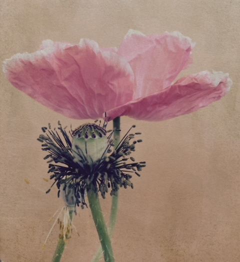 Gallery of Nature DELICATE  POPPY 1st choice.jpeg