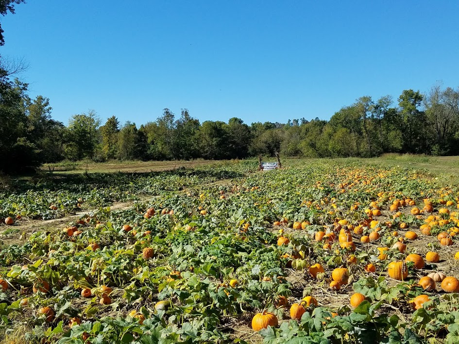 Way Farms raises over 5 acres of pumpkins, gourds, and fall decorations.