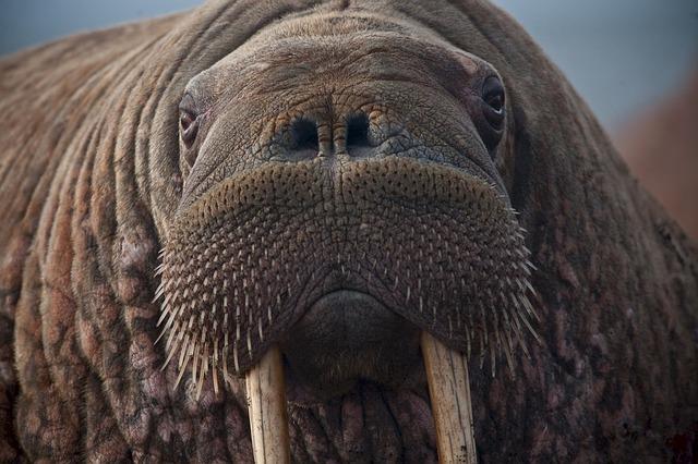 walrus-908609_640.jpg