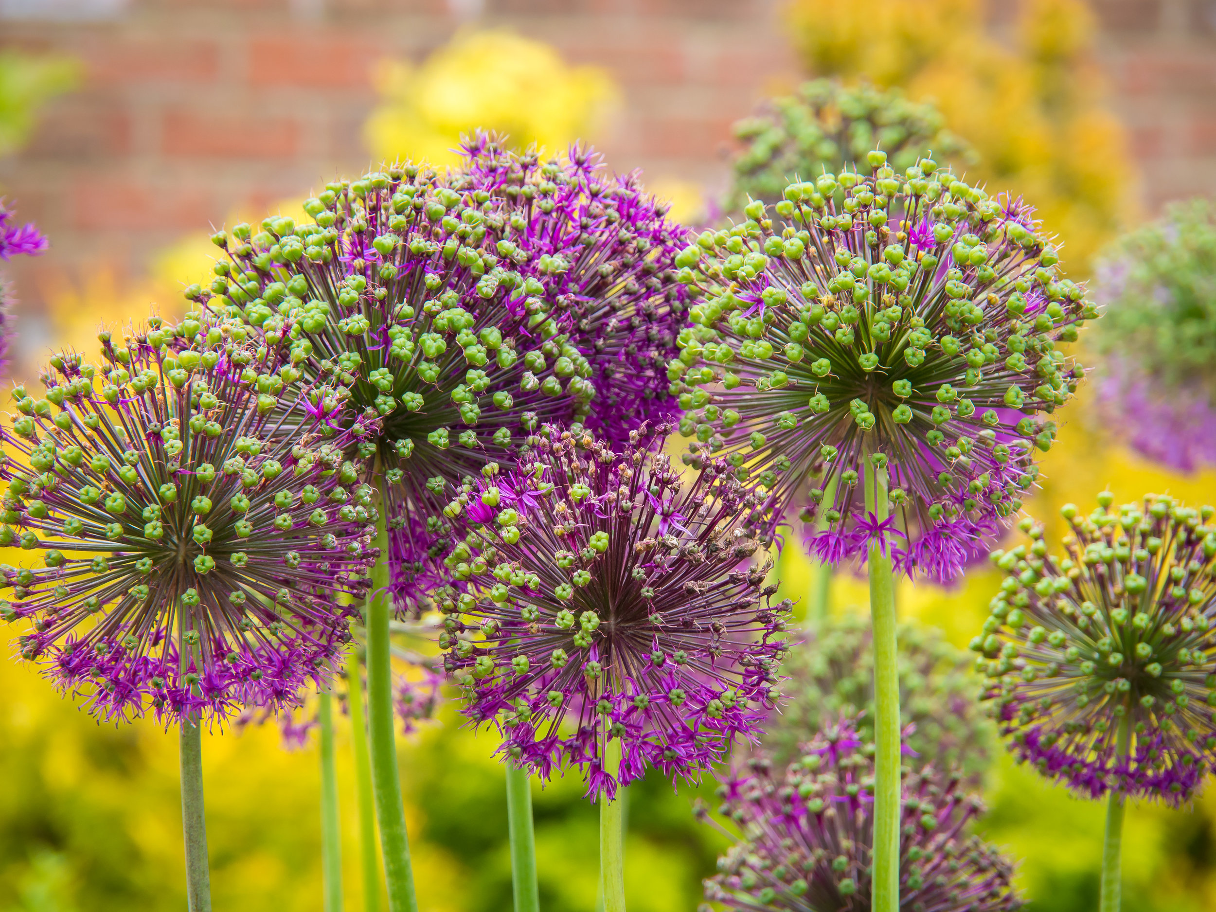 Allium going to seed.
