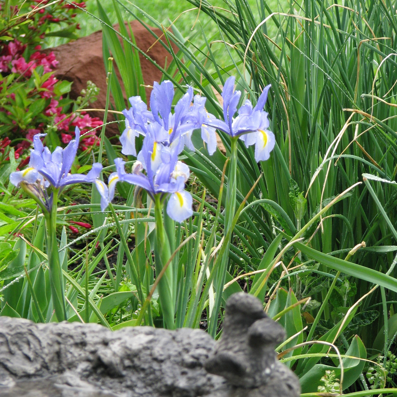Dutch iris blooming in May.