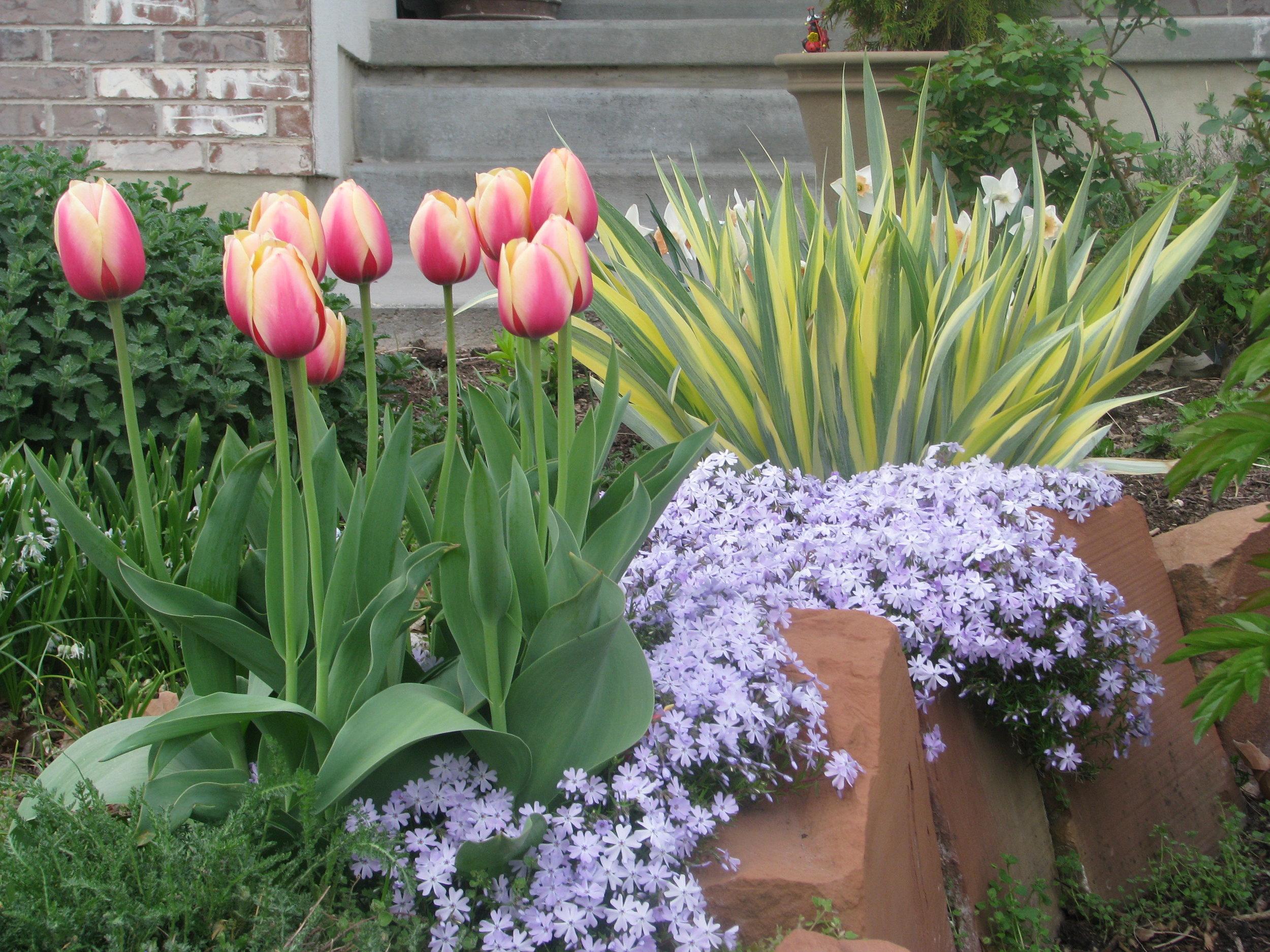 """Tulipa """"Marit"""" with creeping phlox"""