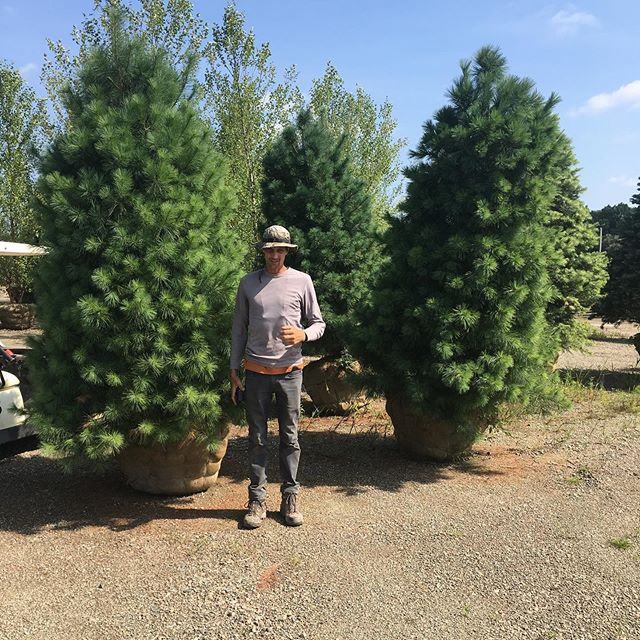 Don. 18 years of buying trees from this guy. #whitepine #pinusstrobus