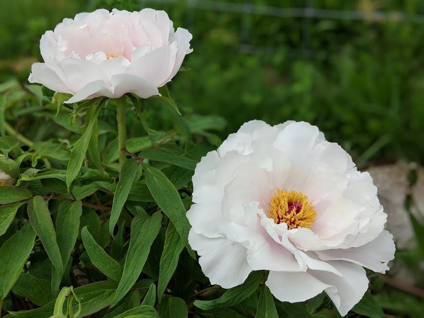 white no flares flower.jpg