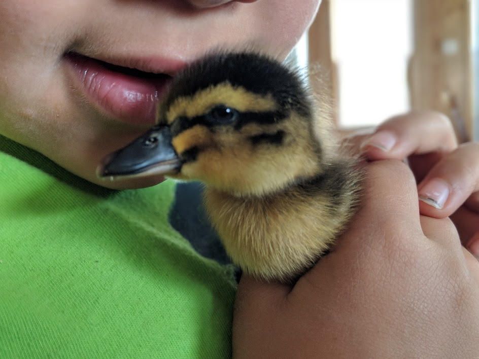 Zachy snuggles a day-old Rouen duck