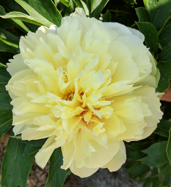 Yellow & Gold Peonies