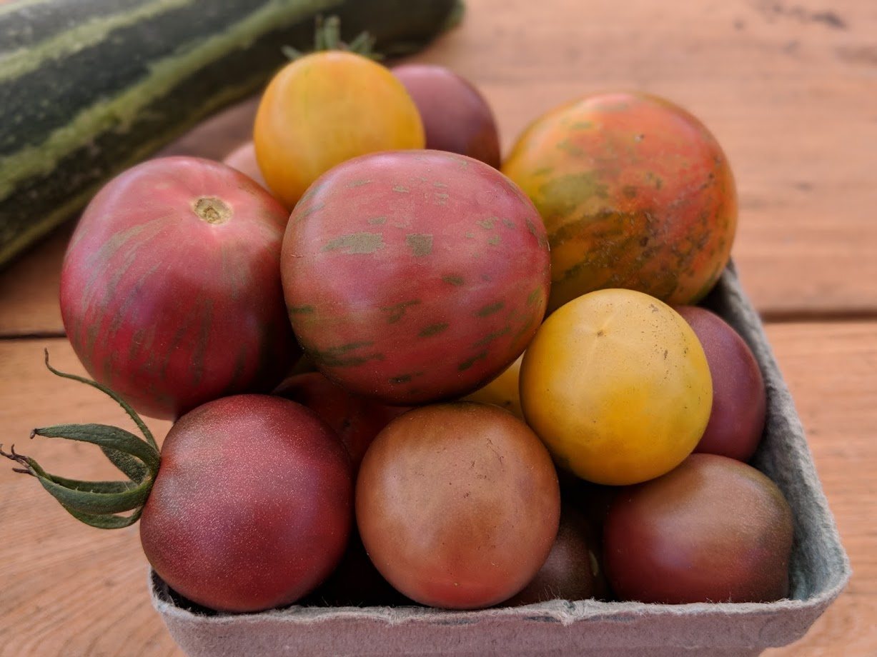 winter sow - heirloom tomato.jpg