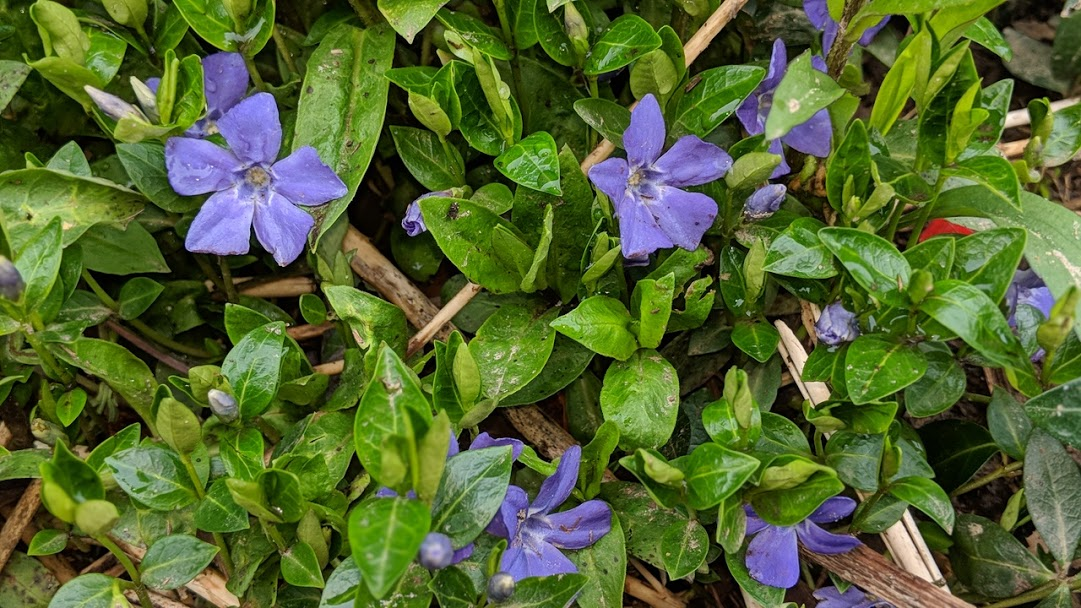 Vinca - with its delicate flowers fit for fairies.
